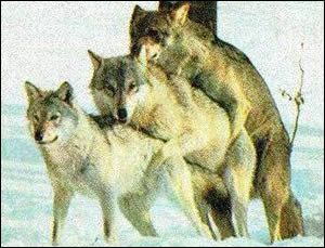 wolfrudelbumsen