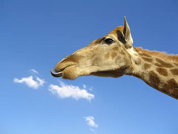 giraffe eating clouds