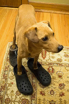 golden retriever clogs