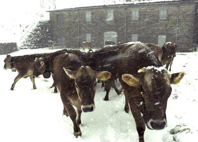 cows in snow in may
