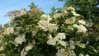 Elder trees are among my favorite plants. Not only are they fantastic trees to have in any garden, they regulate the soil and look out for all the other plants […]